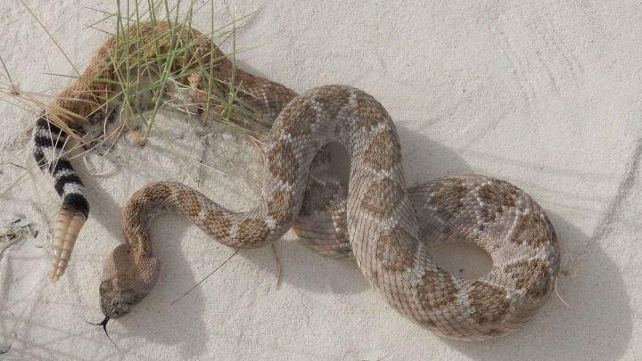 A rattlesnake on white sand