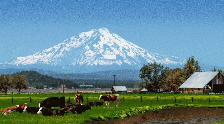 An illustration of cows at the base of Mount Shasta