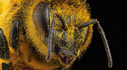 A close up photo of a bee, with lots of pollen all over its little bee hairs